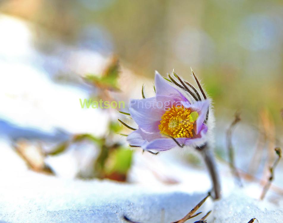 Prairie Pasques Snow Queen