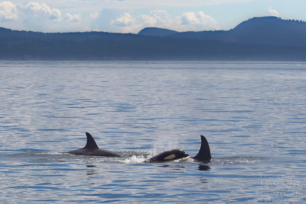 Three orcas (Orcinus orca) swim for food in Boundary Pass near the San Juan Islands between the United States and Canada. In late summer, orcas, also known as killer whales, frequently congregate there to feast on salmon found in a tidal line.