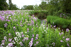 Sweet Rocket, Dame's Violet growing wild by a river in Yorkshire. Hesperis matronalis