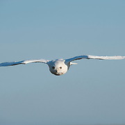 A male Snowy Owl flying in to attack a biologist checking its young owl chicks. North slope of the Brooks Range, Alaska
