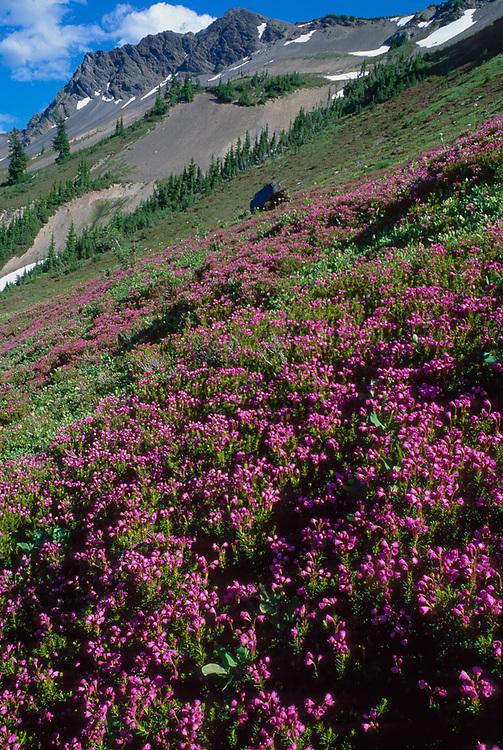 Sentinel Peak and pink heather, July, Olympic Natinal Park, Washington, USA