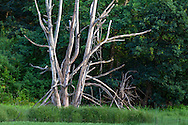 """A dead Oak Tree in a tidal area of Elgin Heritage Park in Surrey, British Columbia, Canada. These dead trunks make a great """"wildlife tree"""" for various species that will inhabit it."""