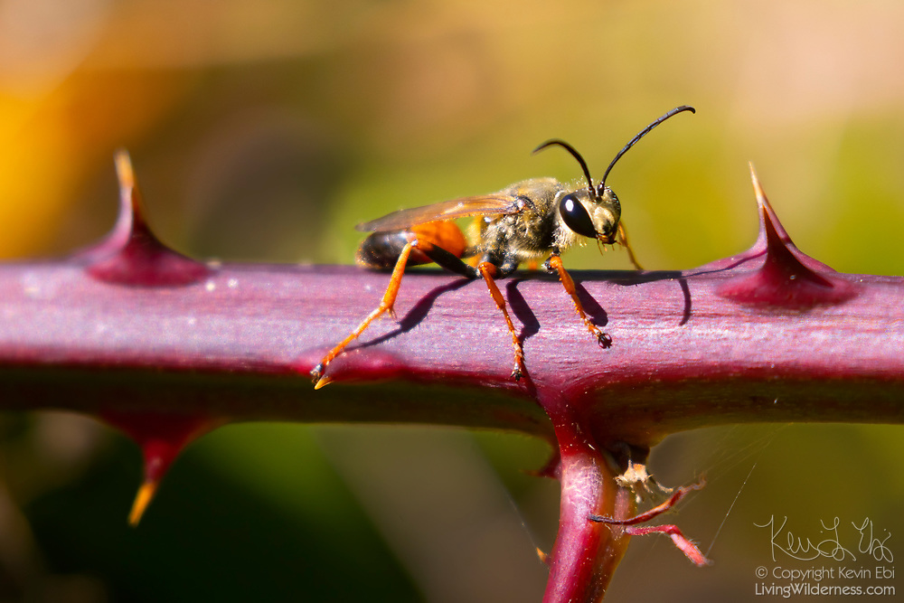 A great golden digger wasp (Sphex ichneumoneus) rests between the thorns on a blackberry cane in Everett, Washington. Female great golden digger wasps dig tunnels for their eggs. They catch and paralyze small insects, which they take to one of their tunnels. They deposit an egg on the still-living insect and close the tunnel.