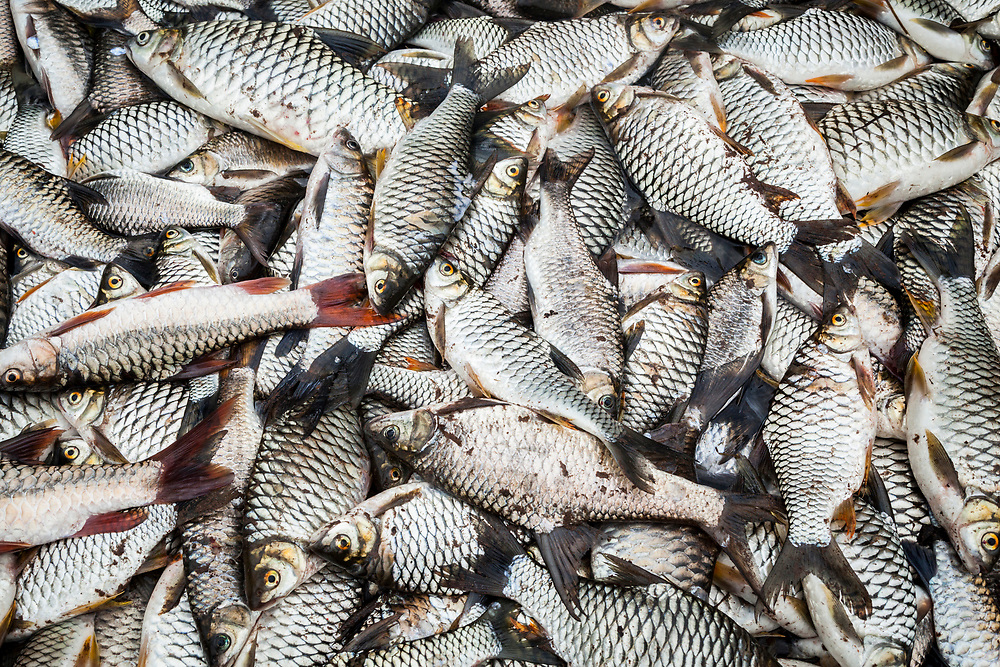 A large pile of fish caught by a group of Lao men on the Nam Ou River in Phou Den Din National Protected Area, Laos. The area is frequented by hunters and fishermen who camp and poach wild game within park boundaries despite (or perhaps without knowledge) that this is technically illegal.