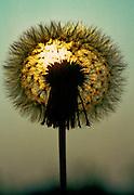 Dandelion seed head at sunset.
