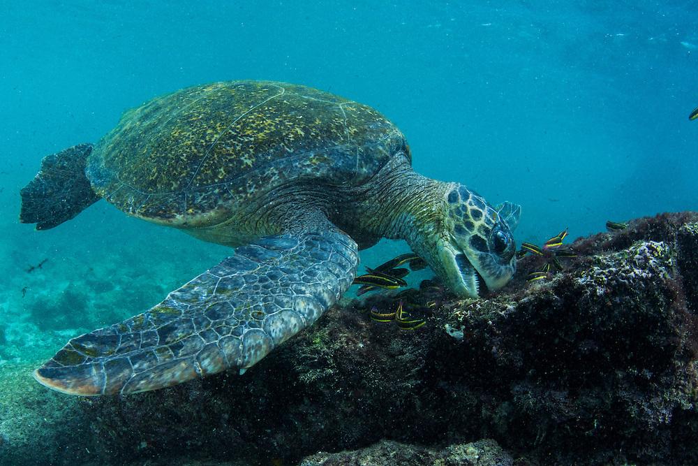 Galapagos Green Turtle (Chelonia mydas agassisi) Feeding<br /> Sullivan Bay<br /> Santiago<br /> Galapagos<br /> Ecuador, South America