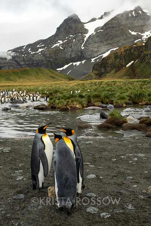 King penguins in a massive breeding colony at Gold Harbour on South Georgia Island.