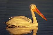 American White Pelican in soft early morning light.(Pelecanus erythrorhynchos).Bolsa Chica Wetlands, California