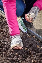 Sowing peas outdoors in the vegetable garden. Pisum sativum