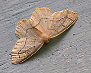 The Hemlock Looper or Mournful Thorn (Lambdina fiscellaria) is a moth found in North America, from the Pacific to the Atlantic coast and from Canada south to Pennsylvania, Wisconsin and California.  The wingspan is about 35 mm (1.4 in) and the moth flies from August to early October depending on the location.  The larvae feed on hemlock, balsam fir, white spruce, oak and other hardwoods.  This individual was photographed in Kingfield Maine in August.<br /> <br /> The image is a focus stack of 6 exposures.
