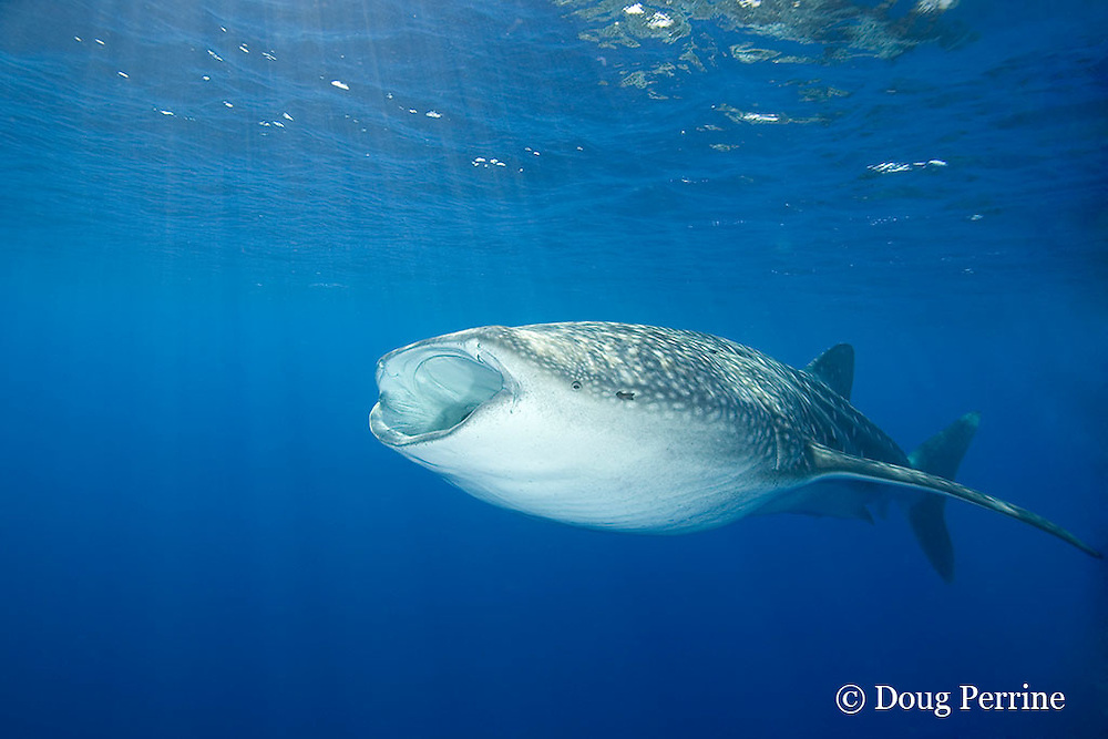 whale shark, Rhincodon typus, with mouth open, to feed on plankton, Kona Coast, Hawaii Island, ( the Big Island ), Hawaiian Islands, USA ( Central Pacific Ocean )