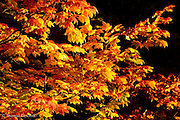 The sun made these maple leaves standout brilliantly against the dark shade of the background. The striking colors of this maple in the early morning light made me stop for a while as I hiked toward Merritt Lake