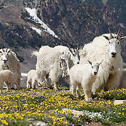 Mountain goat (Oreamnos americanus), Mothers and young in spring flowers. Montana.