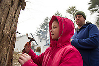 Marc Herrmann watches as his daughter Katelyn hammers a spigot into one of the maple trees at his father in law's yard in preparation for maple syrup season fast approaching.  (Karen Bobotas/for the Laconia Daily Sun)