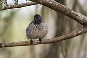 Medium Tree Finch (Camarhynchus pauper) male<br /> Floreana Island<br /> GALAPAGOS ISLANDS,<br /> Ecuador, South America<br /> ENDEMIC to Floreana Island<br /> CRITICALLY ENDANGERED