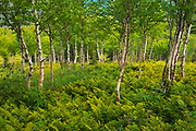 Ferns and white birch trees (Betula papyrifera) in the boreal forest<br />Gaspésie National Park (not a Canadian national park)<br />Quebec<br />Canada