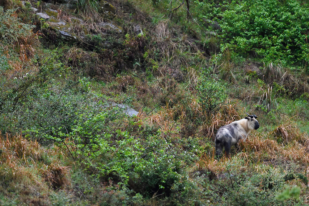Sichuan or Tibetan Takin, Budorcas taxicolor tibetana, photographed standing in a forest in Tangjiahe National Nature Reserve, NNR, Qingchuan County, Sichuan province, China