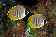 panda butterflyfish, Philippine butterflyfish, or eye patch butterflyfish, Chaetodon adiergastos, at night, Tulamben Bay, Bali, Indonesia