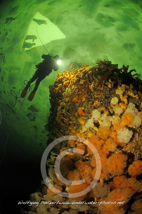 brown sea anemone, Metridium senile, and ice diver, ice diving, scuba diver under ice, Russia,  White Sea, MR