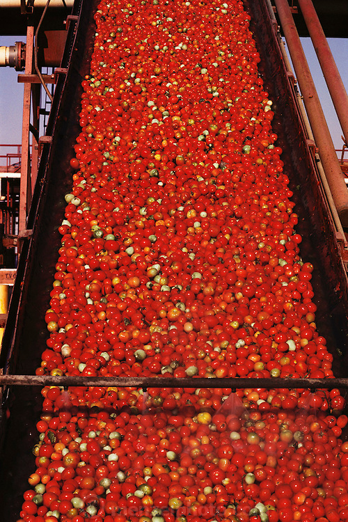 Tomatoes: Tomato cannery facility, Stockton, California, USA. Washed tomatoes going up a conveyor to the factory.