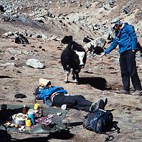 A trekker approaches a yak in the Khumbu region of Nepal's Himalaya.