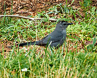 Gray Catbird. Image taken with a Nikon N1V3 camera and 70-300 mm VR lens.