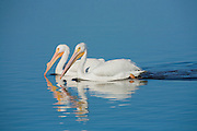Breeding Pelicans Swimming