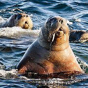 A group of Atlantic walruses (Odobenus rosmarus rosmarus) swimming rapidly while foraging for food in shallow water late at night, with one raising its head high to take a look around