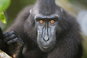 A close-up of a Celebes Crested Macaque(Macaca nigra) with amber-colored eyes, Sulawesi, Indonesia