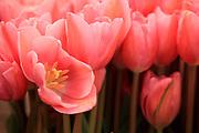 Tulips at the Ballard Farmer's Market. (Erika Schultz / The Seattle Times)