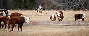 PRICE CHAMBERS / NEWS&GUIDE<br /> Chase Lockhart herds a steer away from a group of bulls.