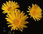 Rare and endemic Panamint Daisy, Enceliopsis covillei, blooming on the west side of the Pamamint Range in Wildrose Canyon, flowers are six inches across, Death Valley National Park, California.
