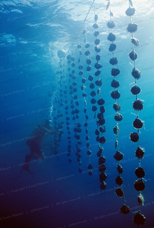 Diver inspecting Oyster shells with pearls in Manihi, French Polynesia.