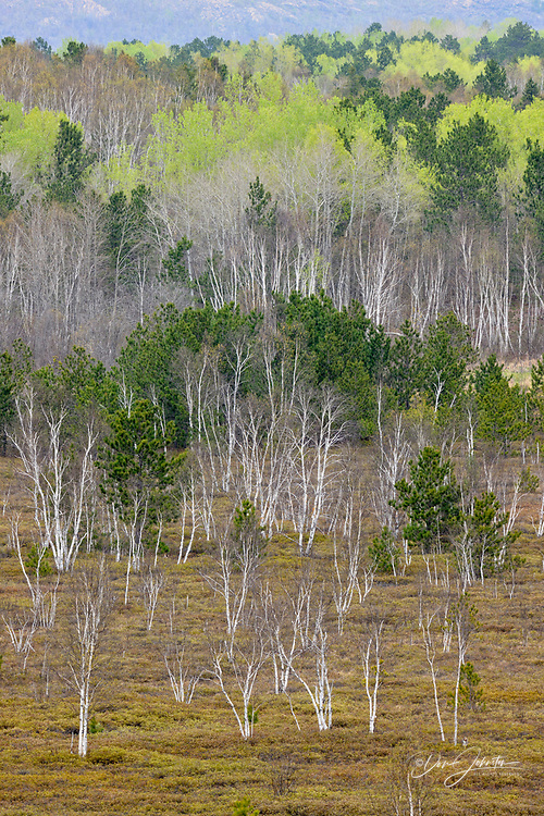 Spring trees in a mixed forest, Greater Sudbury (Lively), Ontario, Canada