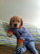 You'd have to be blind not to love this cute golden retriever puppy<br /> <br /> Ray Charles is the Internet's new favorite dog - a blind golden retriever puppy recently discovered by Buzzfeed.<br /> The original story about Ray on Buzzfeed, posted last week, has now Born this past December, Ray was the only boy in the litter with four lively sisters. <br /> At first, Ray seemed more timid than his sisters which led a vet to eventually discover that Ray was blind. <br /> But he insists on his Facebook page that that's no reason to feel sorry for him. <br /> 'I can run and play and do everything else other dogs that can see do!' Ray 'says' on his Facebook page.<br /> His blindness, however, was a bad omen at first since blind dogs have a much harder time finding the right family for adoption.<br /> 'My life then became a waiting game as to if I was ever going to find a home or not,' Ray's Facebook page says. <br /> 'Luckily my dad found out about me before it was too late, and saved my life!'<br /> Ray now lives in Boston with two big brothers and a big sister, the family's other dogs Harley, Jack, and Maggie. <br /> In March, Ray got his own Facebook page, which his owners use to post pictures of Ray dressed up in silly outfits, taking baths and playing with toys.<br /> Since the page was created, the internet has fallen in love with the sightless dog - he has over 6,500 likes.<br /> Love for Ray spread off Facebook where he was voted a  'dog of the week' at Modern Dog Magazine's website last month with over 3,000 votes. <br /> Hometown fans in Boston have created a petition on ipetitions.com vying to give Ray the chance to drop the puck at a Bruins hockey game. <br /> 'Ray Charles may not have his sight, but we can still show him how much he means to all of us!' reads the petition.<br /> And despite of all the attention, Ray seems to have remained relatively grounded despite his meteoric rise. According to Facebook, he  just loves 'to make people happy and smile an