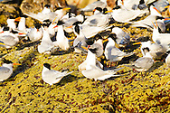 Elegant terns and other sea birds gathering on Isla Rasa, Baja California Mexico
