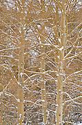 Fresh powder on bare aspens, Ansel Adams Wilderness, Sierra Nevada Mountains, California USA