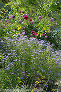 Aster x frikartii 'Monnch' AGM, Rosa 'Munstead Wood' with Rosa 'Royal Jubilee' Englsih shrub roses bred by David Austin - September