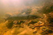 Northern Pike<br /> <br /> Paul Vecsei/ENGBRETSON UNDERWATER PHOTO