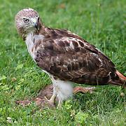 Falcon with freshly killed prey