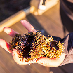 A woman holds urchin shells in Lubec, Maine.
