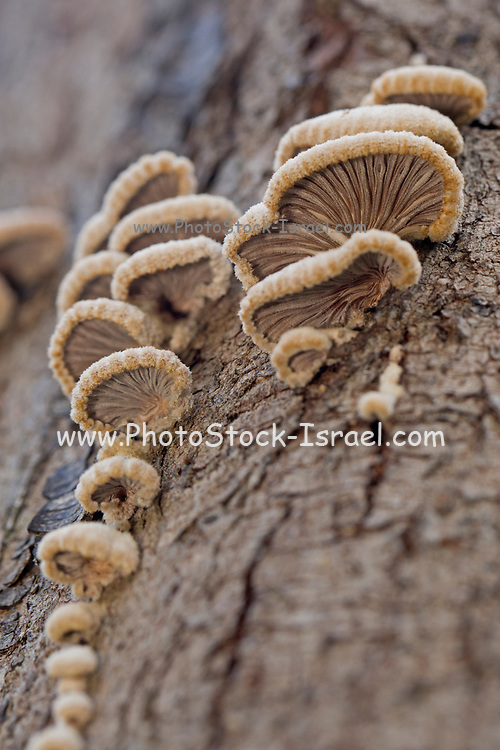 Fungi growing on a tree trunk Photographed in Israel in December