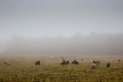 Shetland Ponies Grazing in the morning mist in a field on the outskirts of Glenrothes, Fife, Scotland.
