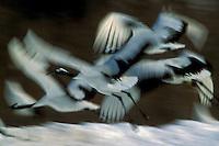 Red-crowned Cranes flying, Hokkaido, Japan.Endangered Species (IUCN Red List: EN)