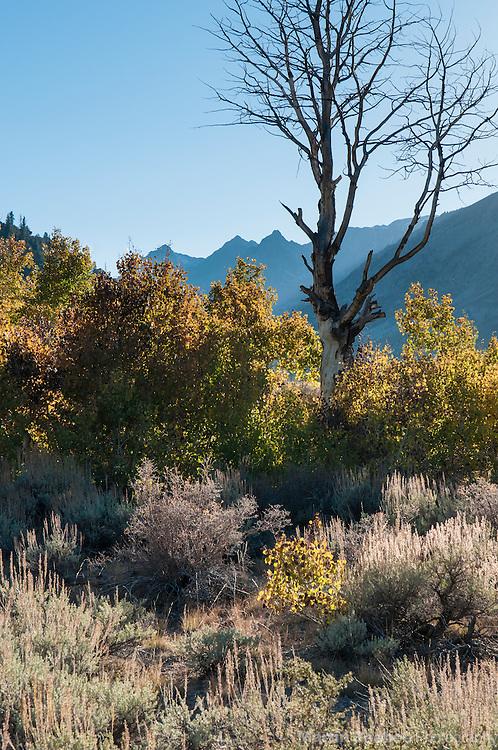Autumn aspen, fall, Green Creek area, Toiyabe Natioinal Forest, California
