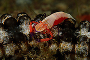Imperial shrimp cohabitant in a symbiotic relationship with various holothurians and nudibranchs and grow to a length of approximately 2 cm