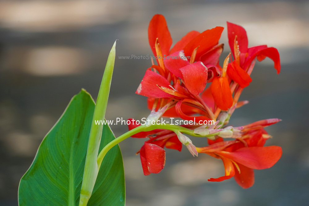Red Canna (also Canna Lily) flower in a garden