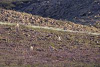 GUANACOS (Lama guanicoe) PASTANDO, PARQUE NACIONAL LIHUE CALEL, PROV. DE LA PAMPA, ARGENTINA