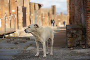 A dog stands on a street in the Pompeii Archeological Park on Friday 6th March 2020 in Pompei, Italy. Park officials estimate that visitor numbers are down to a sixth of what they would normally be as a result of the spread of Coronavirus, which has prompted the closure of all Italian schools and universities, and the postponing of many sporting events. .