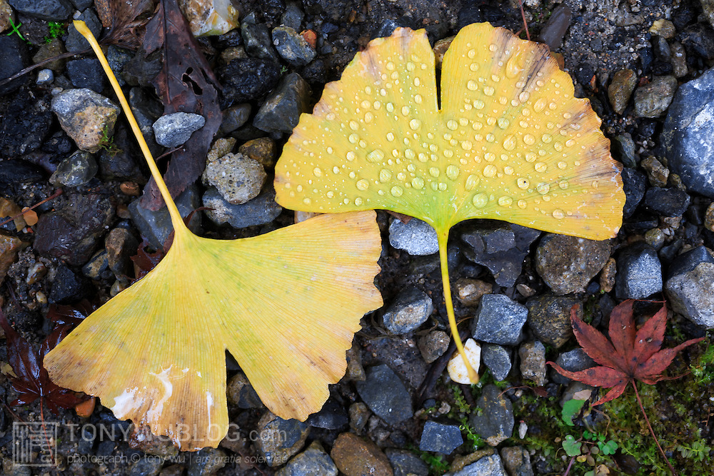 Autumn yellow ginkgo leaves and small momiji maple leaf in a parking lot after rain. Photographed at Kifune in northern Kyoto.